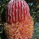 Banksia menziesii - Australian native plant