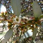 Eucalyptus dumosa - Australian native plant