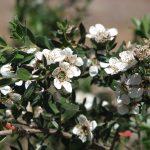 Leptospermum nitidum -Australian native plant