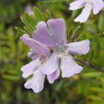 Westringia Wynyabbie Gem - Australian native plant