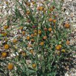 Helenium puberulum - Perennial Plant