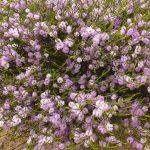 Melaleuca glaberimma - Australian native plant