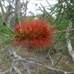 Callistemon linearis- hardy Australian native plant