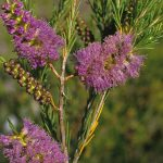 Melaleuca diosmatifolia - Australian native plant