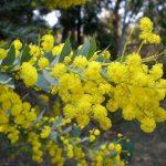 Acacia cultriformis - Hardy Australian Native Plant