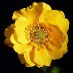 Geum Lady Strathden - Perennial Plant