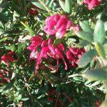 Grevillea Fancy Nancy - Autralian Native Plant