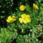 Hibbertia aspera - Australian Native Plant