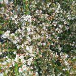 Astartea scoparia - Australian Native Plant