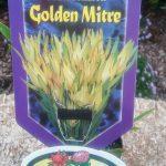 Leucadendron Golden Mitre