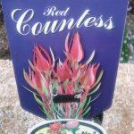 Leucadendron Red Countess