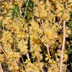 Melaleuca acuminata - Australian Native Plant
