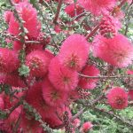 Melaleuca elliptica - Australian Native Plant
