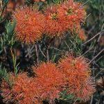 Melaleuca fulgens orange - Australian Native Plant