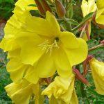 Oenothera elata ssp hookeri