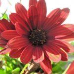 Osteospermum ecklonis red- Perennial Plant