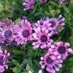 Osteospermum Flower Power Spider Purple- Hardy Perennial Plant