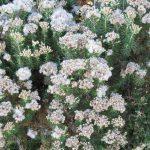 Ozothamnus turbinatum - Australian Native Plant
