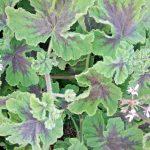 Pelargonium Chocolate Leaf - Hardy Perennial Plant