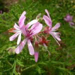 Pelargonium radens - Hardy Perennial Plant