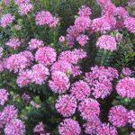 Pimelea ferruginea - Australian Native Plant