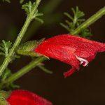 Prostanthera aspalathoides - Australian Native Plant