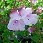 Prostanthera Mauve Mantle - Australian Native Plant