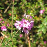 Baurea sessiliflora - Australian Native Plant