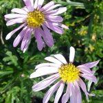 Brachyscome segmentosa Starscope -Australian Native Plant