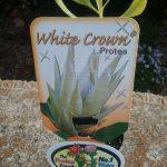 Protea White Crown