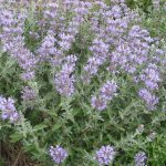 Salvia Celestial Blue - Hardy perennial Plant
