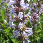 Salvia clevelandii - Perennial Plant