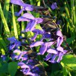 Salvia gaurantica - Perennial Plant