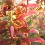 Salvia lanceolata - Drought Hardy Perennial Plant