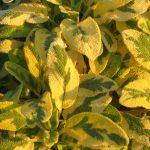 Salvia officinalis aurea - Hardy Perennial Plant