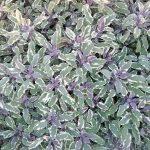 Salvia officinalis Tricolour - Hardy Perennial Plant