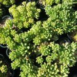 Sedum hirsutum ssp baeticum