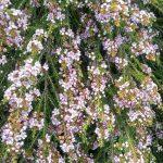 Thryptomene saxicola F C Payne - Hardy Australian Native Plant