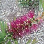 Callistemon Burgundy - Australian Native Bottle-brush