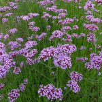 Verbena bonariensis - Long Flowering Hardy Perennial Plant