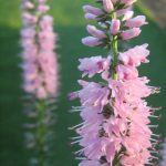 Veronica longifolia pink - long flowering perennial plant