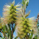 Callistemon flavovirens - Australian Native Bottle-brush
