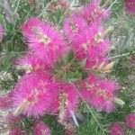 Callistemon Lavender Showers- Australian Native Plant