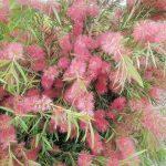 Callistemon salignus rubra - Fast Growing Australian Native Plant