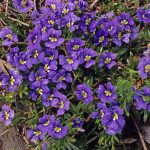Dampiera diversifolia - Australian Native Plant