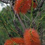 Melaleuca laterita - Australian native plant