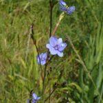 Aristea ecklonii - perennial plant