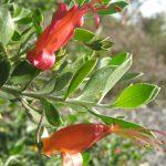 Eremophila glabra Yorke Peninsular red - hardy Australian native plant