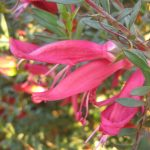 Eremophila maculata magenta - hardy Australian native plant