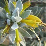 Eremophila glabra Kalbarrie Carpet - hardy Australian native plant